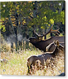 Rocky Mountain Bull Elk Bugeling Acrylic Print by Nathan Bush