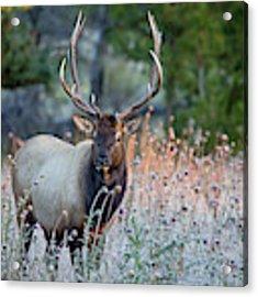 Rocky Mountain Wildlife Bull Elk Sunrise Acrylic Print by Nathan Bush