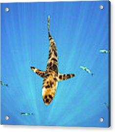 Silky Shark Acrylic Print by Nicole Young