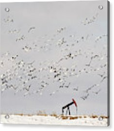 Snow Geese Over Oil Pump 01 Acrylic Print by Rob Graham