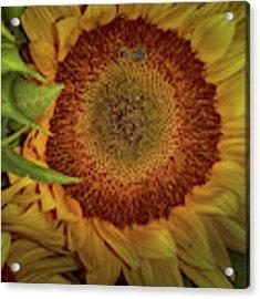 Sunflower Splendor Acrylic Print by Judy Hall-Folde
