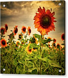 Sunflowers. Horytsya, 2014. Acrylic Print by Andriy Maykovskyi