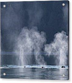 Synchronized Swimming Humpback Whales Alaska Acrylic Print by Nathan Bush