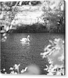 The Lone Swan 1 Acrylic Print by Brian Hale