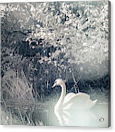 The Lone Swan 2 Acrylic Print by Brian Hale