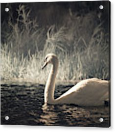 The Lone Swan 3 Acrylic Print by Brian Hale
