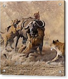 The Take Down - Lions Attacking Cape Buffalo Acrylic Print by Alan M Hunt