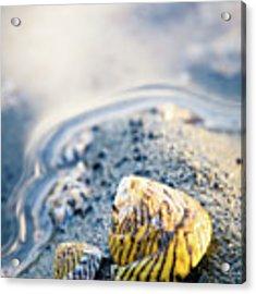 Tiny Seashell Acrylic Print by Nicole Young
