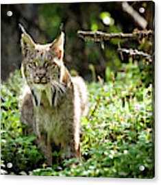 Watchful Mama Lynx Acrylic Print by Tim Newton