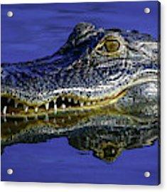 Wetlands Gator Close-up Acrylic Print by Tom Claud