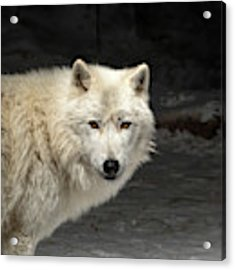 What's For Dinner? Acrylic Print by Susan Rissi Tregoning