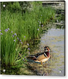 Wood Duck And Iris Acrylic Print by Patti Deters