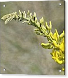 Yellow Lupine Acrylic Print by Carolyn Marshall