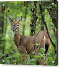 Young White-tailed Deer, Odocoileus Virginianus, With Velvet Antlers Acrylic Print by William Dickman