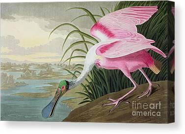 Spoonbills Canvas Prints