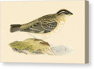 Sparrow Drawings Canvas Prints
