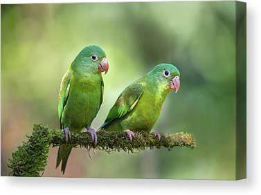 Parakeets Canvas Prints