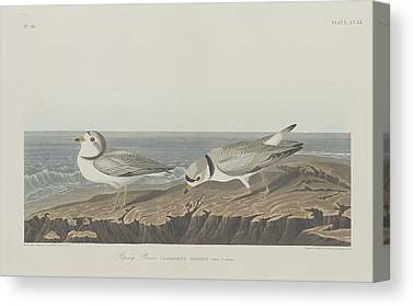 Seagull Drawings Canvas Prints