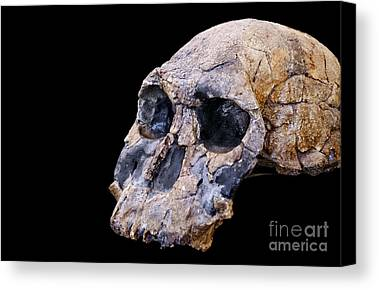 Designs Similar to Skull Of Homo Habilis