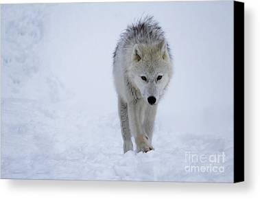 Arctic Wolf Photographs Limited Time Promotions