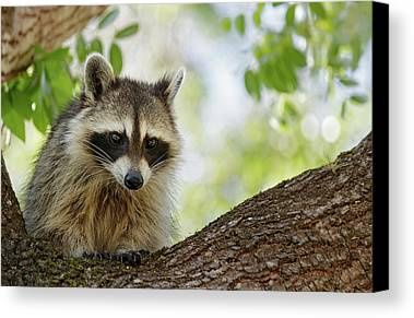Raccoon Photographs Limited Time Promotions