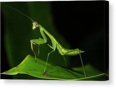 Mantidae Canvas Prints