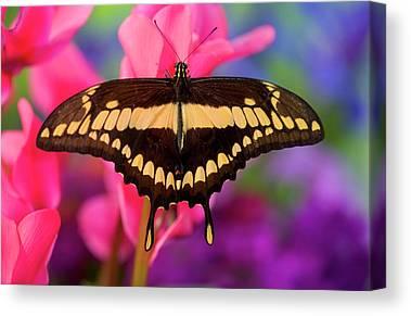 Papilio Thoas Canvas Prints