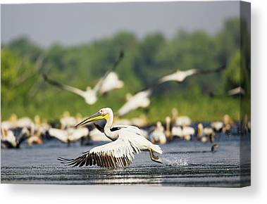 Flying White Pelicans Canvas Prints