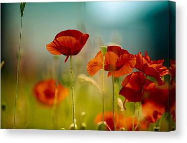 Red Poppy Canvas Prints