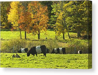 Galloway Canvas Prints