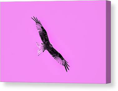 Short-tailed Eagle Canvas Prints