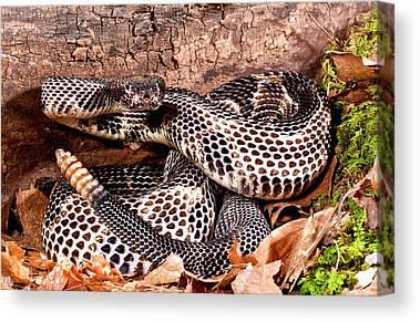 Timber Rattlesnakes Canvas Prints