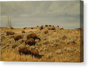 Bison Heard Canvas Prints