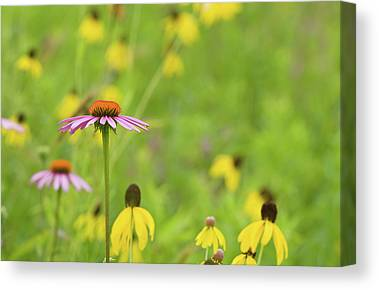 Yellow Coneflower Canvas Prints