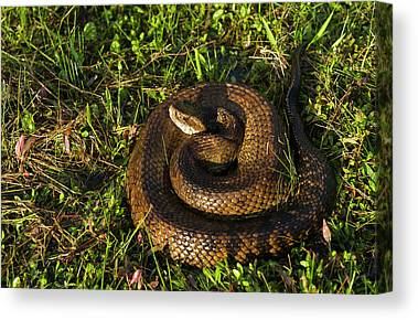 Cottonmouths Canvas Prints