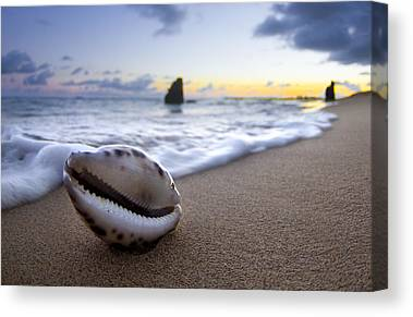 Cowrie Shell Canvas Prints