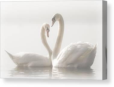Swan Pair Canvas Prints