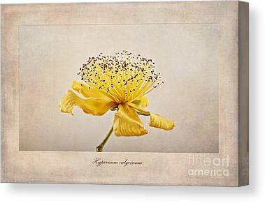 Rose Of Sharon Canvas Prints