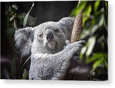 Koala Canvas Prints