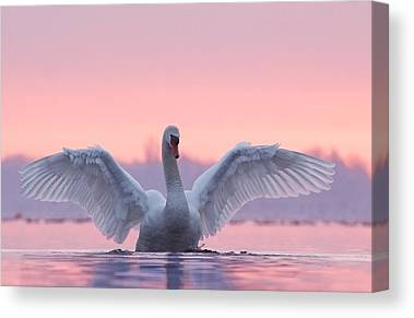 Swans.. Canvas Prints