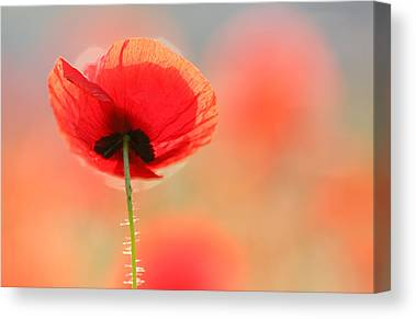 Poppy Flower Canvas Prints