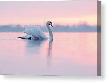 Swan Photographs Canvas Prints