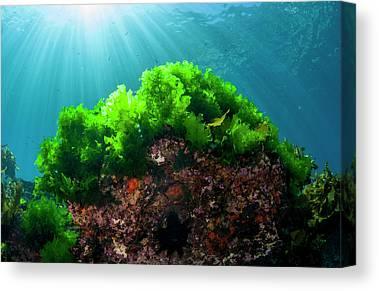 Kelp Forest Canvas Prints