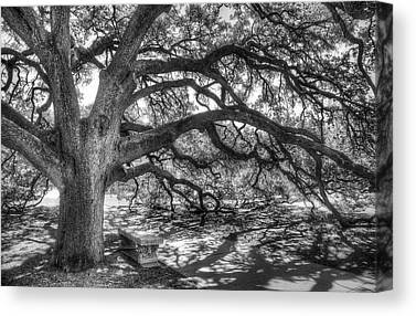 Live Oaks Canvas Prints