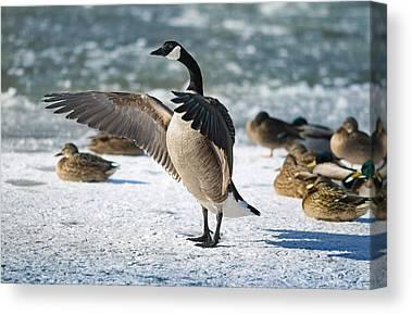 Canada Goose Canvas Prints