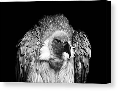 Vulture Canvas Prints