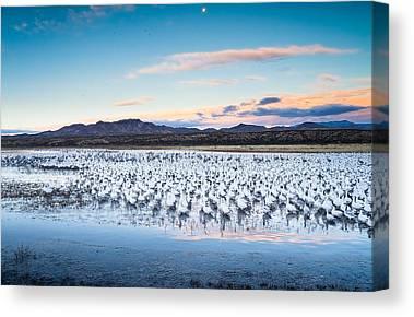 Snow Geese Canvas Prints