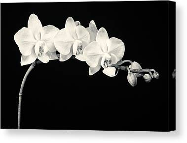 Phalaenopsis Canvas Prints