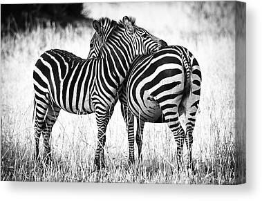 Zebra Canvas Prints