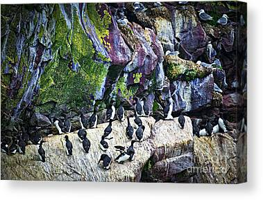 Razorbills Canvas Prints
